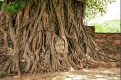 Les racines de Bouddha de tête de l'arbre Photos stock