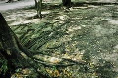 Les racines de l'arbre Photographie stock libre de droits