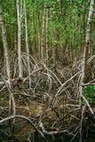 Les racines de palétuvier atteignent dans l'eau peu profonde dans une forêt s'élevant dans t Image libre de droits