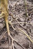 Les racines des arbres de palétuvier dans les forêts naturelles de palétuvier, pour le fond naturel photos stock