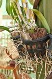 Les racines des orchidées Photos stock
