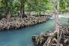Les racines vert d'émeraude de l'eau et d'arbre de la tourbe inondent, canal de Tha Pom, Krabi, Thaïlande Image stock