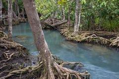 Les racines vert d'émeraude de l'eau et d'arbre de la tourbe inondent, canal de Tha Pom, Krabi, Thaïlande Photo stock
