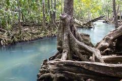 Les racines vert d'émeraude de l'eau et d'arbre de la tourbe inondent, canal de Tha Pom, Krabi, Thaïlande Photographie stock libre de droits