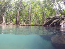 Les racines vert d'émeraude de l'eau et d'arbre de la tourbe inondent la forêt, canal de Tha Pom, Krabi, Thaïlande Photos stock