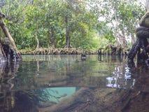 Les racines vert d'émeraude de l'eau et d'arbre de la tourbe inondent la forêt chez Tha Pom Khlong Song Nam Image stock