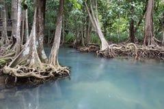 Les racines vert d'émeraude de l'eau et d'arbre de la tourbe inondent la forêt chez Tha Pom Khlong Song Nam Images libres de droits