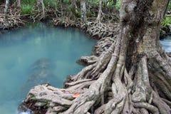 Les racines vert d'émeraude de l'eau et d'arbre de la tourbe inondent la forêt chez Tha Pom Khlong Song Nam Image libre de droits