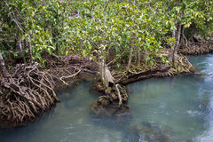 Les racines vert d'émeraude de l'eau et d'arbre de la tourbe inondent la forêt chez Tha Pom Khlong Song Nam Photographie stock libre de droits