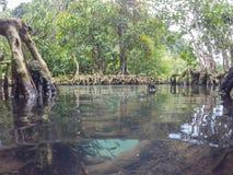 Les racines vert d'émeraude de l'eau et d'arbre de la tourbe inondent la forêt chez Tha Pom Khlong Song Nam Photos libres de droits