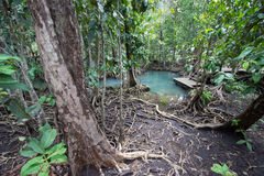 Les racines vert d'émeraude de l'eau et d'arbre de la tourbe inondent la forêt chez Tha Pom Khlong Song Nam Photo libre de droits