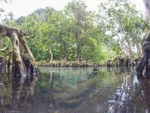 Les racines vert d'émeraude de l'eau et d'arbre de la tourbe inondent la forêt du canal de Tha Pom dans la province de Krabi, Tha Photos libres de droits