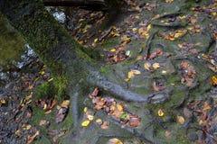 Les racines vont arbre profondément/A planté par l'eau--Voir le psaume #1 images stock