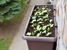 Les radis plantés dans la boîte en plastique accrochent sur la balustrade de balcon de l'extérieur Images libres de droits
