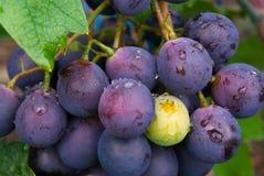 Les raisins Image libre de droits