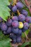 Les raisins Image stock