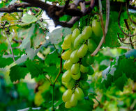 Les raisins Photos stock