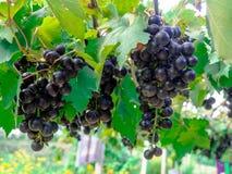 Les raisins Images stock