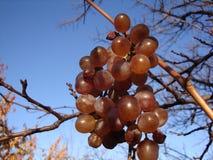 Les raisins blancs dans le vignoble, se ferment  photo libre de droits