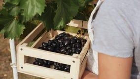 Les raisins de cueillette de jeune femme sur le vignoble pendant la vigne moissonnent banque de vidéos