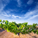 Les raisins de cuve de Bobal dans le vignoble cru préparent pour la récolte Photos libres de droits
