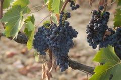 Les raisins de la Toscane Photo libre de droits