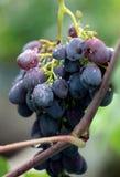 Les raisins groupent la tige image stock