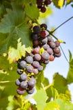 Les raisins prospèrent bien au housewall Photos libres de droits