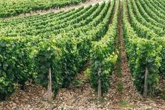Les raisins se développe dans les rangées dans le domaine Photo libre de droits