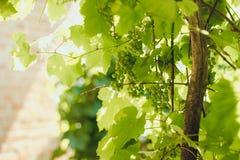 Les raisins verts groupe au soleil des rayons Images libres de droits
