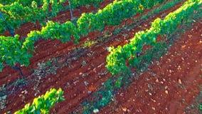 Les raisins verts se développe sur des branches banque de vidéos