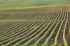 Les rangées de jeunes usines de soja dans le matin s'allument Photographie stock libre de droits