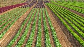 Les rangées de l'arc-en-ciel coloré des champs agricoles de la laitue de cultures plante, y compris le vert, le rouge, variétés p images libres de droits