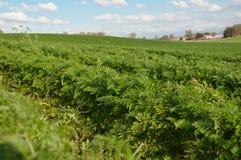 Les rangées de la carotte grandissante et du ciel photographie stock