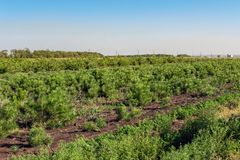 Les rangées de petits pins lumineux à la pépinière conifére font du jardinage Jeunes conifères croissants à la plantation de jard image stock