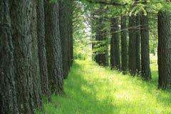 Les rangées des mélèzes dans l'arborétum de forêt Photographie stock libre de droits