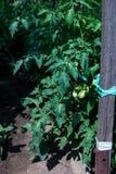Les rangées du produit du pays de jeunes plantes de tomate Photos stock