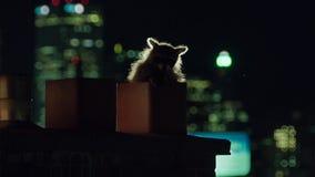 Les ratons laveurs urbains sont des opportunistes et ils sont désireux d'explorer le nouvel environnement, printemps à Toronto LE photos libres de droits