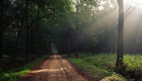 Les rayons dans la forêt Photographie stock