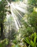Les rayons de la lumière du soleil rayonnent par la jungle tropicale dense photo stock