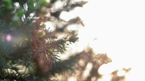 Les rayons de soleil mous brillent par des aiguilles de pin banque de vidéos