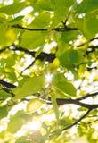 Les rayons du soleil brillent par les feuilles de l'arbre de tilleul Images stock