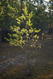Les rayons du soleil brillent sur de jeunes pins dans la forêt Photo stock