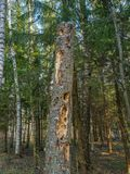 Les rayons du soleil illuminent le vieil arbre cassé dans une forêt dense images libres de droits