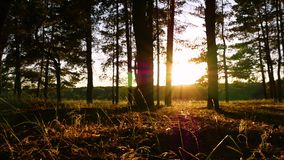 Les rayons du soleil pendant l'éclat de coucher du soleil entre les arbres dans la forêt ou le parc La caméra se déplace lentemen banque de vidéos