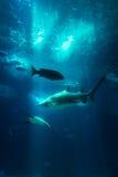 Les rayons sous-marins de Sun de requin de poissons de vue d'aquarium par l'eau vont le faire images libres de droits