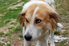 Les regards de chien Photographie stock libre de droits