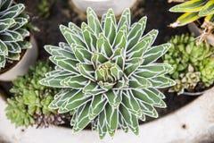 Les reginae cactus2 de Victoria d'agave Photographie stock