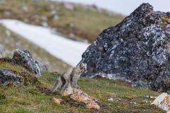 Les renards arctiques se repose sur la pierre rouge sur une roche Photos stock