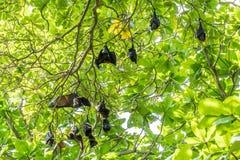 Les renards de vol, la plus grande chauve-souris sur l'arbre, peuvent généralement fonder aux îles de Similan de la Thaïlande Image stock
